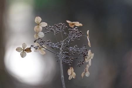 2015.01.17 瀬谷市民の森 タマアジサイ