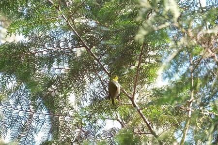 2015.01.26 瀬谷市民の森 檜にメジロ