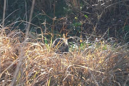 2015.02.06 和泉川 コサギを狙う猫 狩