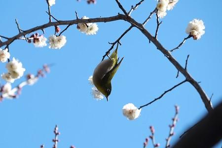 2015.02.06 和泉川 梅にメジロ イナバウアー