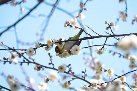 2015.02.06 和泉川 梅にメジロ 花粉