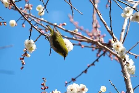 2015.02.06 和泉川 梅にメジロ