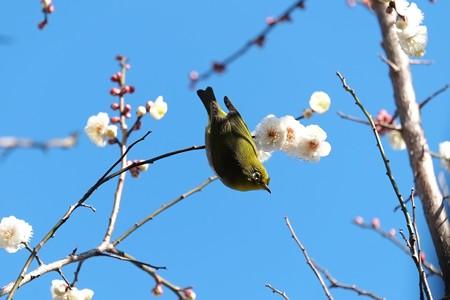 2015.02.06 和泉川 梅へメジロ