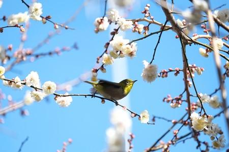 2015.02.06 和泉川 白梅にメジロ 春