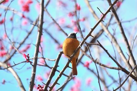 2015.02.16 和泉川 ジョウビタキ