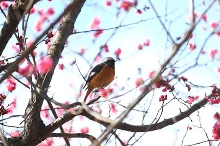 2015.02.16 和泉川 紅梅へジョウビタキ