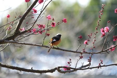 2015.02.16 和泉川 梅にジョウビタキ
