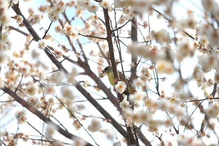 2015.02.21 和泉川 梅にアオジ