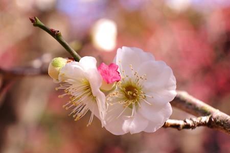 2015.03.02 大池公園 ウメ 交梅