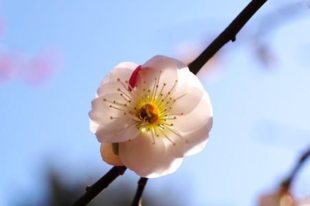 2015.03.02 大池公園 ウメ 紅