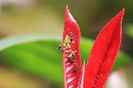 2010.05.26 和泉川 赤い葉に蟻