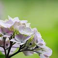 Photos: 2010.06.13 追分市民の森 紫陽花-1