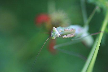 2010.08.30 和泉川 蟷螂