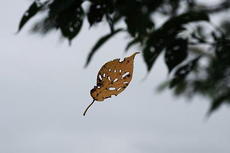 2010.09.10 和泉川 櫻葉