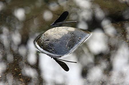 2010.09.11 和泉川 クロイトトンボ