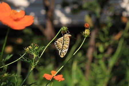 2011.09.08 和泉川 ツマグロヒョウモン