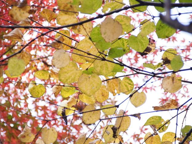 広葉の黄葉、紅葉と相乗