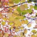 Photos: 広葉の黄葉、紅葉と相乗