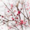Photos: 春告草 はるつげぐさ