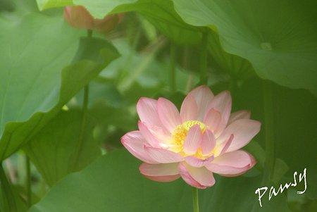 三渓園の蓮たち・・7