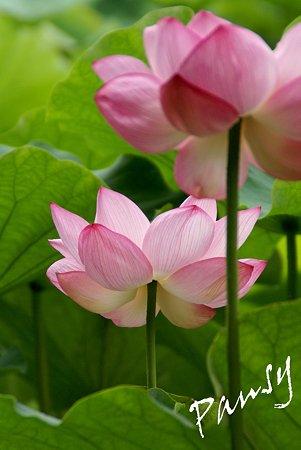 三渓園の蓮たち・・8