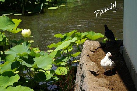 白い鳩と・・白い蓮・・