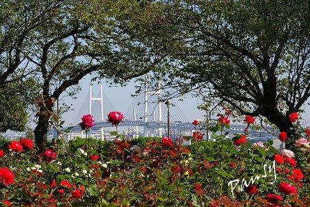 薔薇の向こうのベイブリッジ・・ 10月の港の見える丘公園・・5