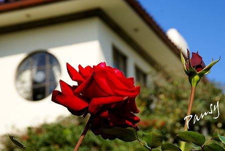 薔薇と・・窓と・・