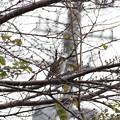 Photos: 雨の日の小鳥(ジョウビタキ雌?)