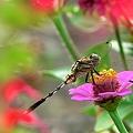 蜻蛉の楽園・・・。