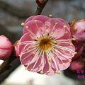 Photos: 筑紫紅