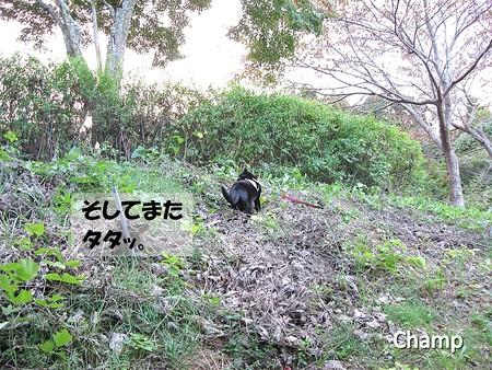 チャンプのお散歩15