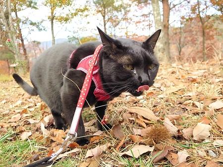 紅葉の終わり_黒猫チャンプ1