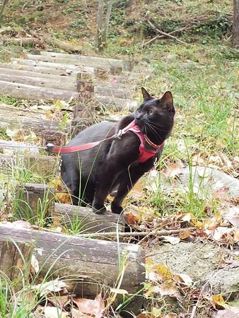 紅葉の終わり_黒猫チャンプ9