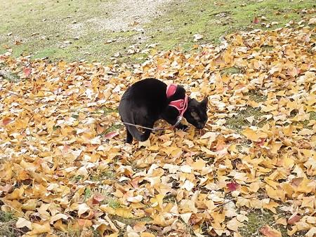 紅葉の終わり_黒猫チャンプ13