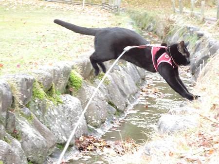 紅葉の終わり_黒猫チャンプ19