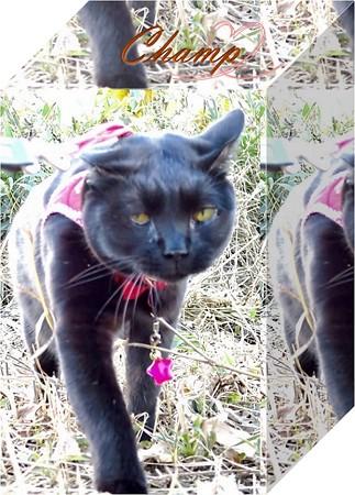 黒猫チャンプ家を建てる音に驚く5