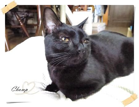 黒猫チャンプ猫の師走1