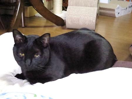 黒猫チャンプ猫の師走2
