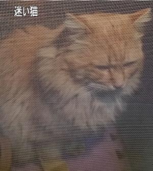 迷子の長毛茶猫1