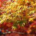Photos: 黄色いモミジ!20141115