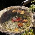 写真: 水鉢に浮かぶモミジ!20141115