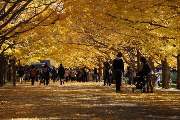 写真: 銀杏のトンネル!20141115