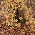 写真: 黄葉のモミジ!2014