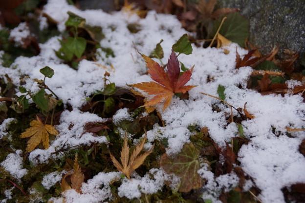 残雪に落ちもみじ!2015