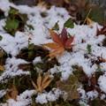 写真: 残雪に落ちもみじ!2015