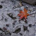 写真: 氷と落ちもみじ!2015