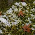 写真: 苔庭の落ちもみじと雪!2015