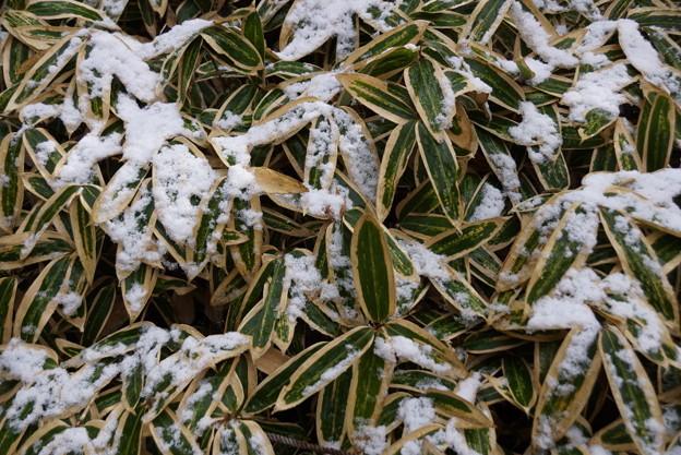 写真: 熊笹の残雪!2015