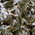 熊笹の残雪!2015
